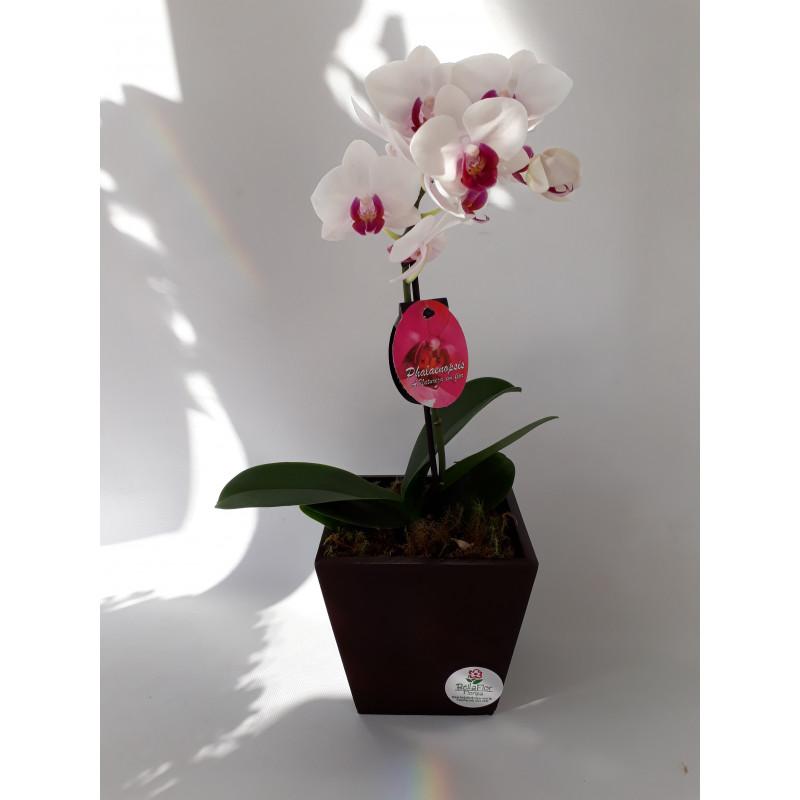 306 Mini Orquídea Phalaenopsis