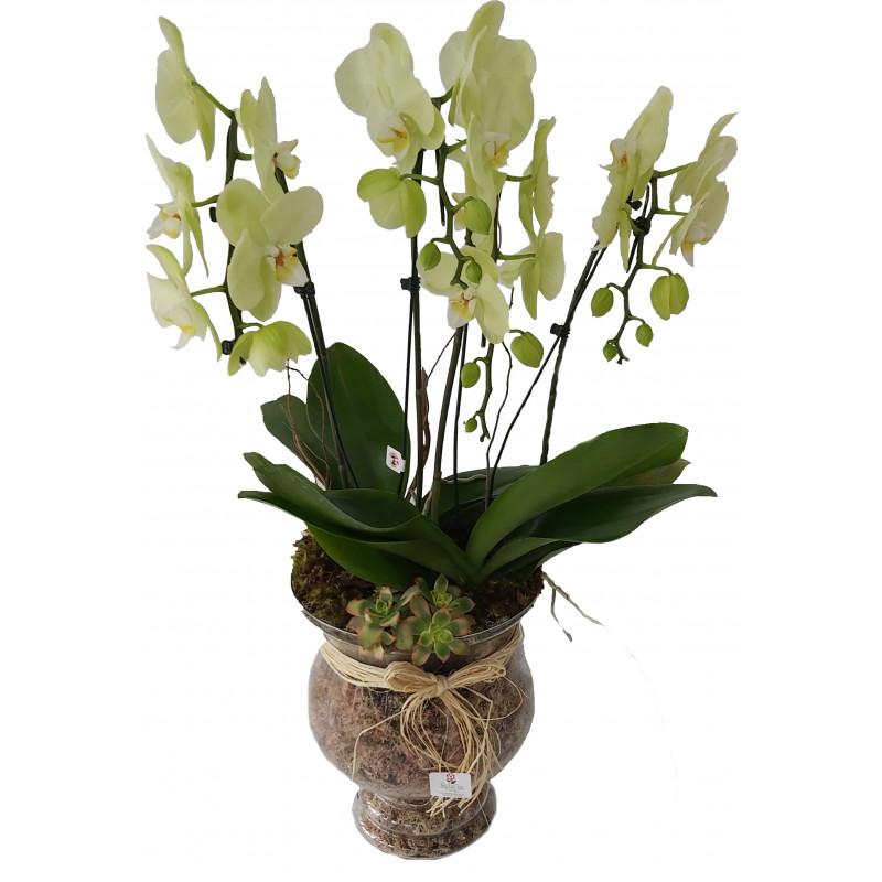 313 Arranjo  de orquídea Phalianopolis Master