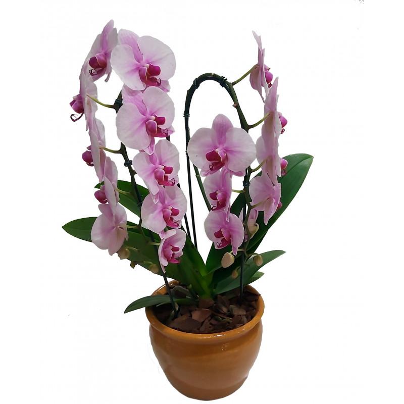 314 Orquídea Phalianopolis pote 12