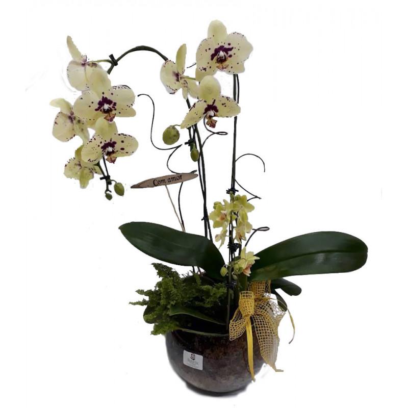 508  Premier Orquídea Phalaenópsis.