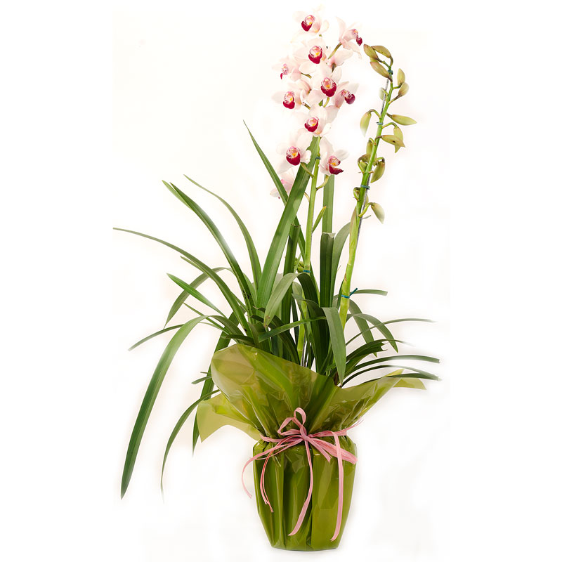305 Orquídea Cymbidium -