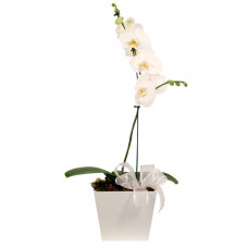 301 Orquídea Phalaenópsis Branca -