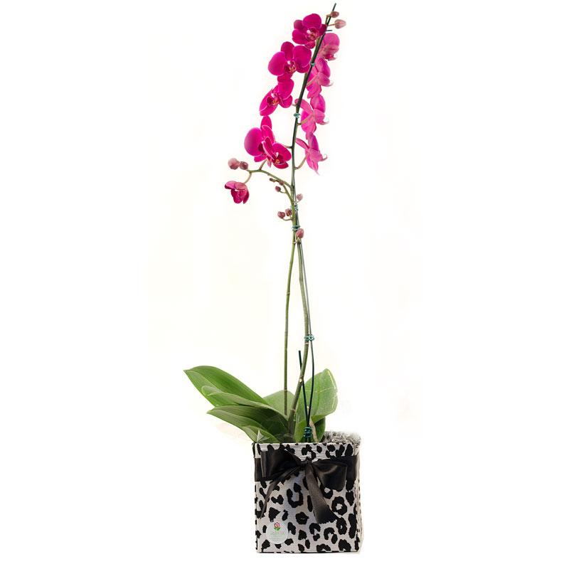 312 Orquídea Phalaenopsis Lilás ou Branca -