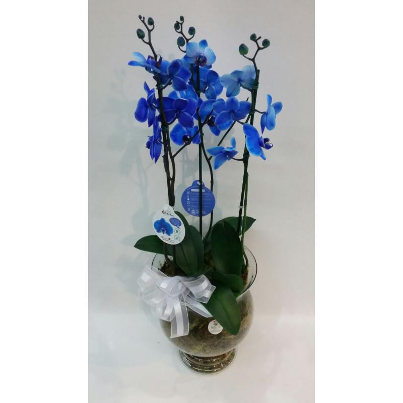 310 arranjo de orquídea azul