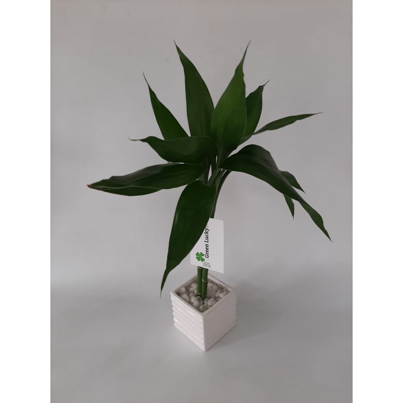 216 - Lucky Bambu da Sorte P